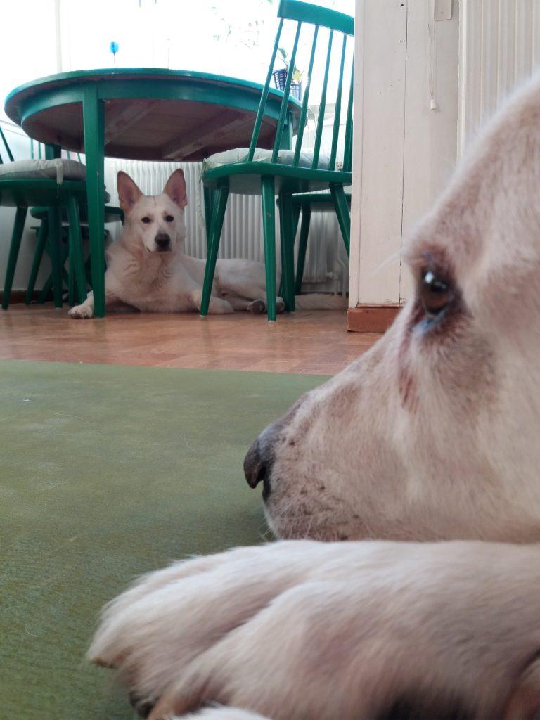 Hundarna Chaplin och Enzo